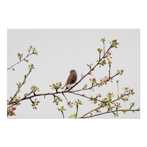 Picture of Sparrow Singing in Flowering Tree Poster
