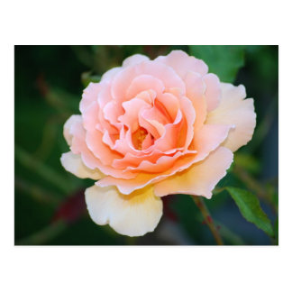 Picture Perfect Rose Postcard