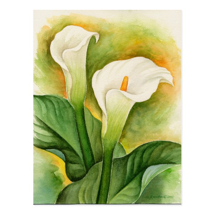 Pictures Or Images Of Calla Lily Flowers Painting Postcard Zazzle