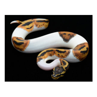 piebald ball python postcard