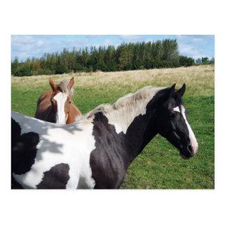 Piebald & Chestnut Horses Postcards