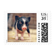 Piebald Pig puppy for Pig Lovers Postage