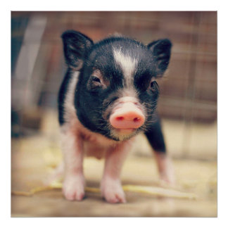 Piebald Pig puppy for Pig Lovers Poster