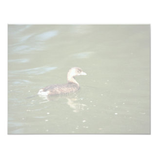 Pied billed Grebe Announcement