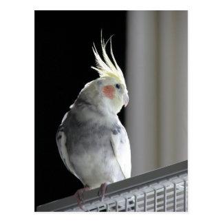 Pied Cockatiel Post Card