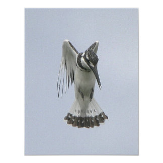 Pied Kingfisher Card