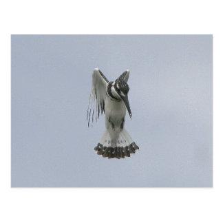 Pied Kingfisher Postcard