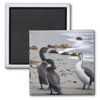Pied Shags Magnet