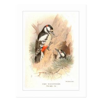 Pied Woodpecker Postcard