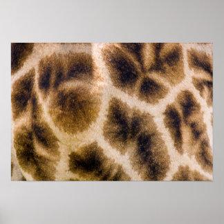 Piel de la jirafa (Giraffa Camelopardalis) Posters