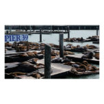 Pier 39 Sea Lions in San Francisco Poster