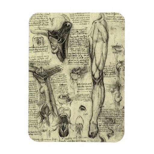 Pierna humana Leonardo da Vinci de la laringe de Imanes