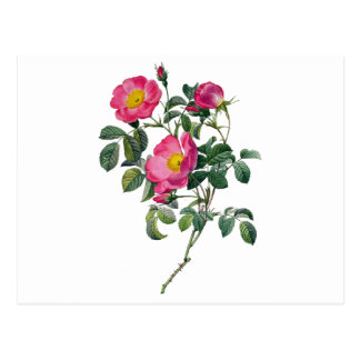 Pierre Joseph Redoute Roses Postcard