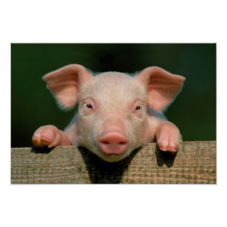 Pig farm - pig face poster