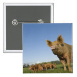 Pig in a Field 2 Inch Square Button