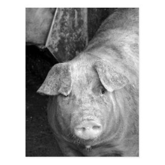 Pig in Black and White Postcard