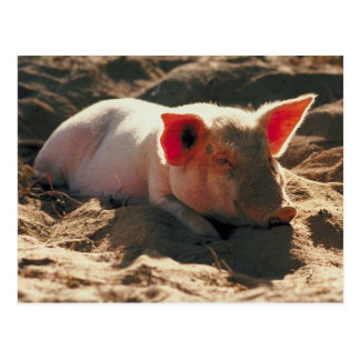 Pig in the Sun Postcard