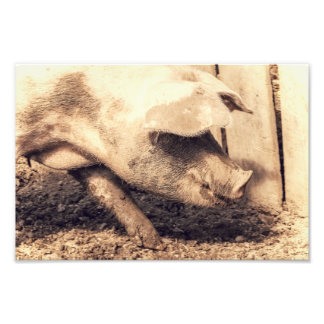 Pig Is Hungry Photo Print