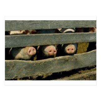 Pig Noses Postcard