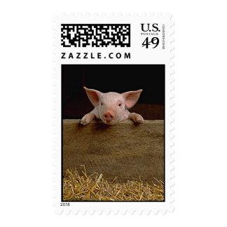 Pig Postage Stamps