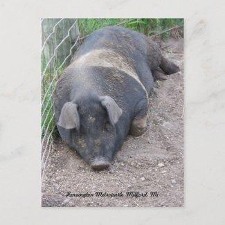 Pig Postcard postcard