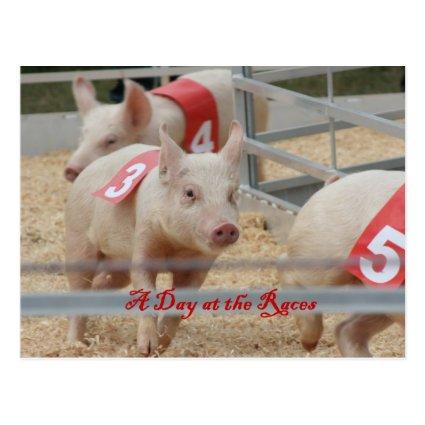 Pig racing, Pig race photograph, pink pig Post Cards