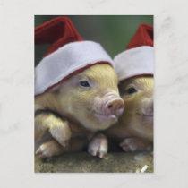 Pig santa claus - christmas pig - three pigs holiday postcard