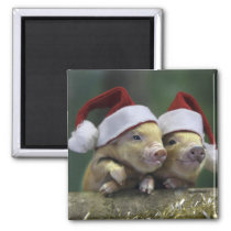 Pig santa claus - christmas pig - three pigs magnet