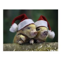 Pig santa claus - christmas pig - three pigs postcard
