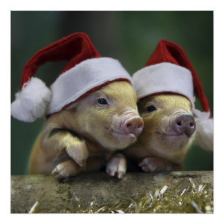 Pig santa claus - christmas pig - three pigs poster