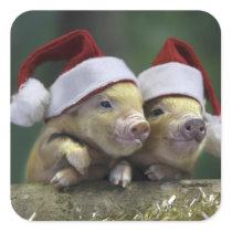 Pig santa claus - christmas pig - three pigs square sticker