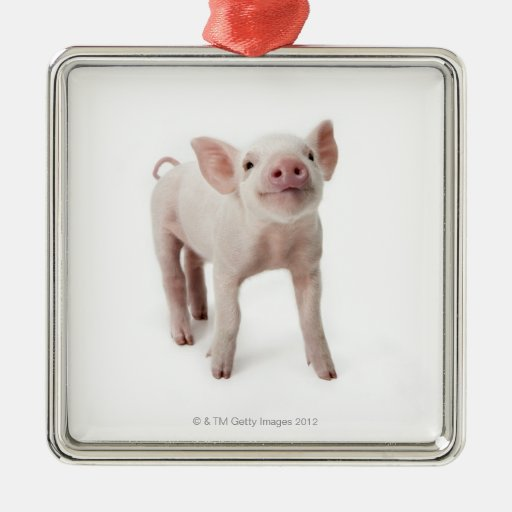 Pig Standing Looking Up Christmas Ornaments