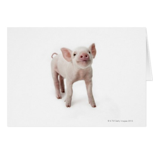 Pig Standing Looking Up Greeting Card