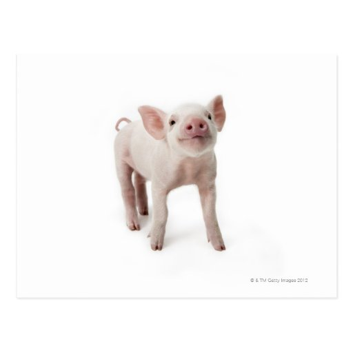 Pig Standing Looking Up Postcard