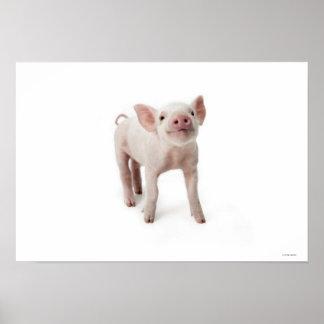 Pig Standing Looking Up Print