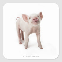 Pig Standing Looking Up Square Sticker