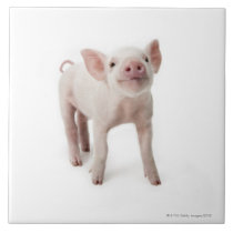 Pig Standing Looking Up Tile
