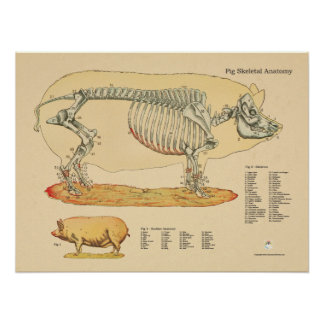 Pig Veterinary Skeletal Anatomy Chart