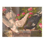 """""""Pigeon and White Dove"""" Vintage Postcard"""