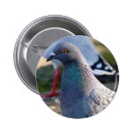 Pigeon Buttons