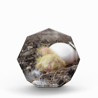 Pigeon chick in the nest with his brother egg acrylic award