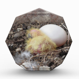 Pigeon chick in the nest with his brother egg award