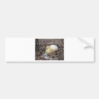 Pigeon chick in the nest with his brother egg car bumper sticker