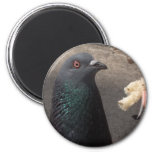 pigeon magnets