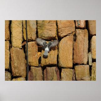 Pigeon Nesting in Cracks Poster