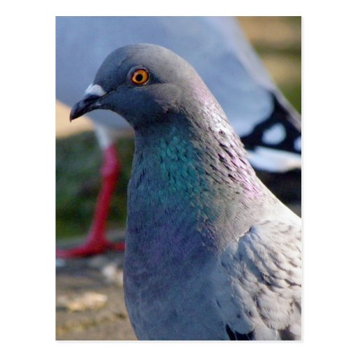 Pigeon Postcards