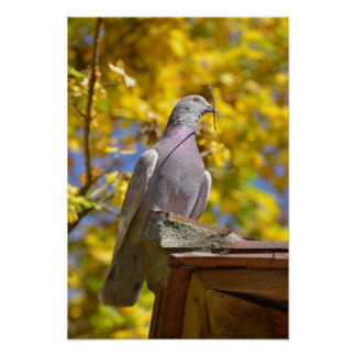 Pigeon with twig in the beak poster