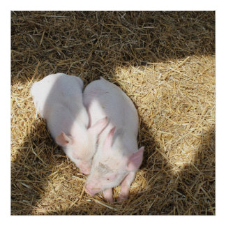 Piggies Sunbathing Poster
