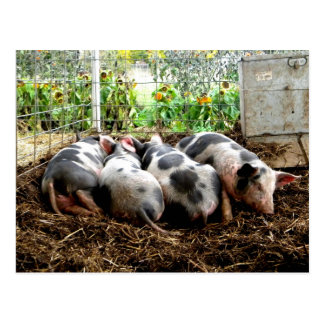 Piggy Pile Postcard