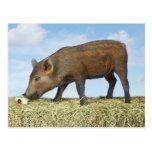 Piglet Eating Postcard